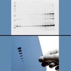 Protein Quantification & Western Blotting _________________________